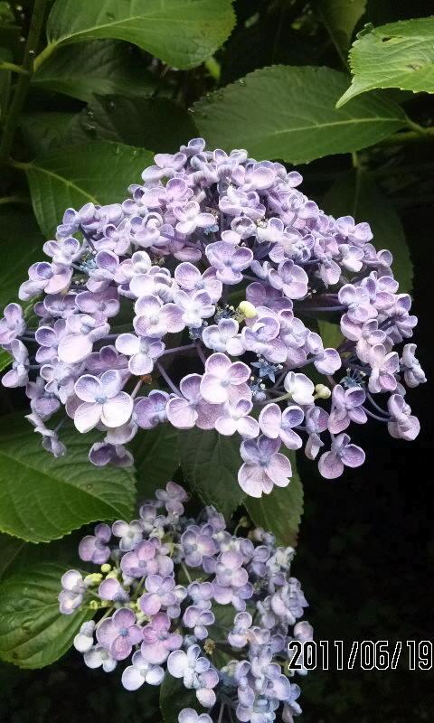 〔飛鳥山の紫陽花その2〕