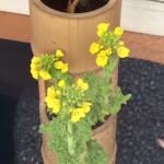 【花便り】☆菜の花☆